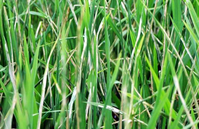 稻纵卷叶螟防治技术