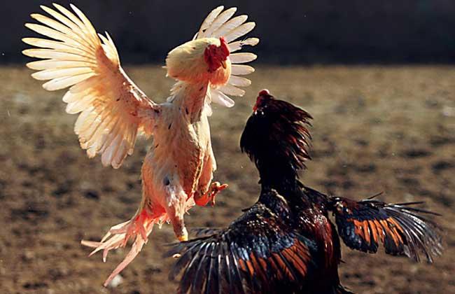 斗鸡种类图片大全