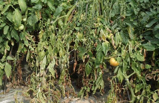 番茄枯萎病防治技术