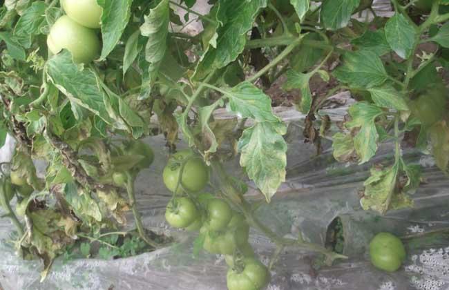 番茄叶霉病怎么防治