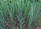 分葱高产种植技术