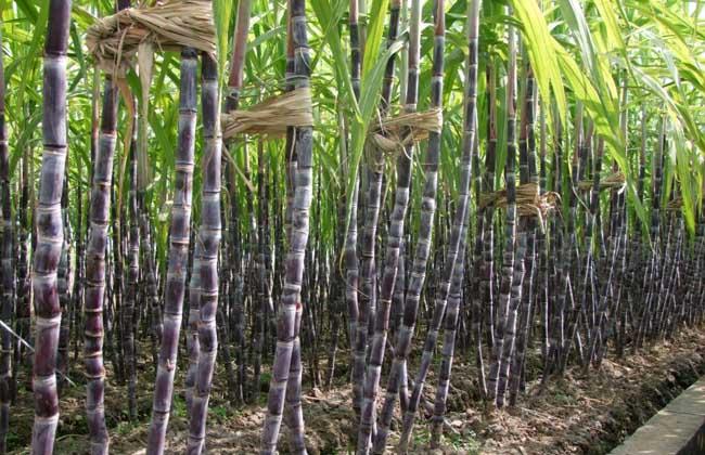 甘蔗白叶病防治技术