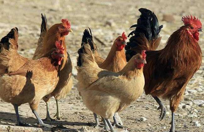 固始雞養殖技術
