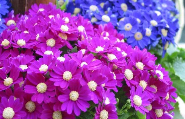 瓜叶菊的养殖方法(2)