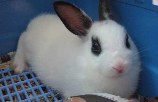 海棠兔多少钱一只