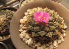 龟甲牡丹的养殖方法