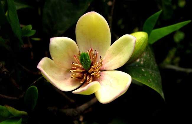 含笑花的养殖方法和注意事项