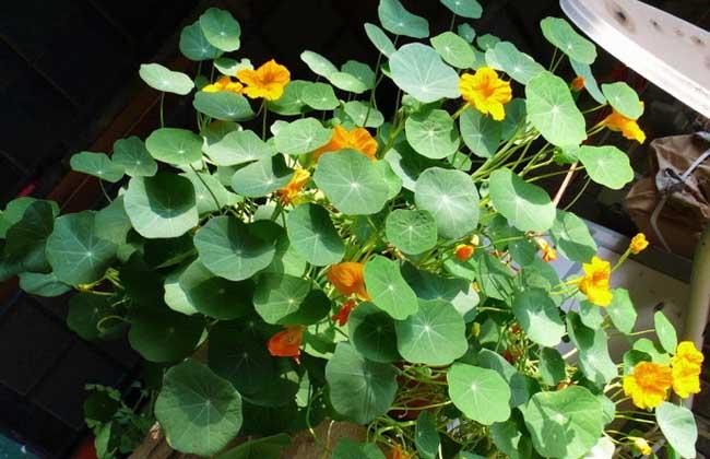 旱金莲常见虫害及防治方法图片