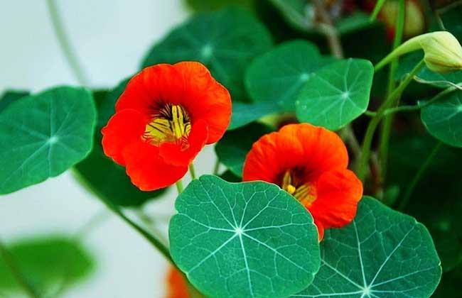 旱金莲种子怎么种?