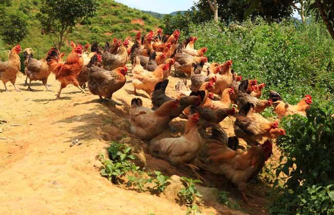河田鸡养殖技术