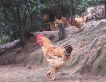 河田鸡养殖技术视频