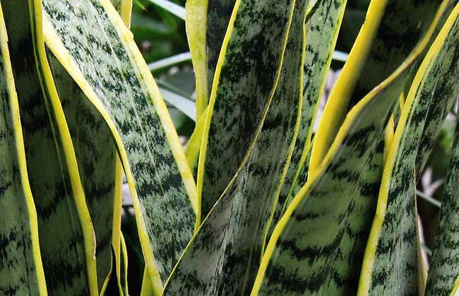 虎皮兰的繁殖方法图解图片