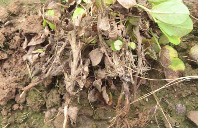花生茎腐病防治