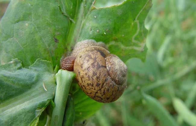 灰巴蜗牛怎么防治?