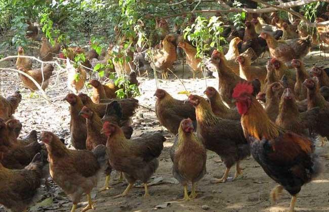 鸡产蛋下降综合症