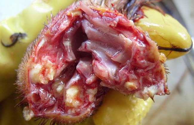 鸡传染性喉气管炎