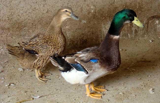 金定鸭养殖技术视频