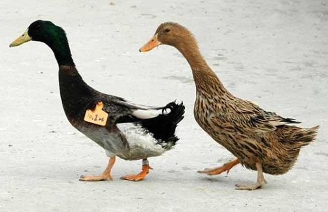 金定鸭养殖技术