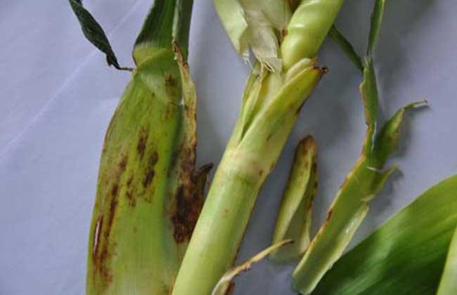 玉米茎腐病的防治方法