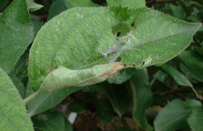 卷叶蛾的防治方法