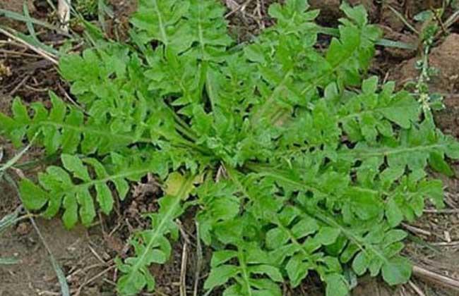 菱角菜的营养作用