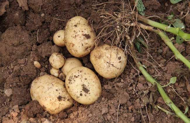 马铃薯枯萎病