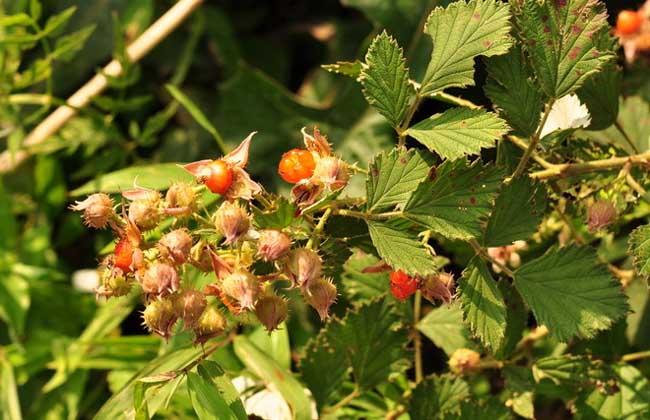 茅莓的功效与作用