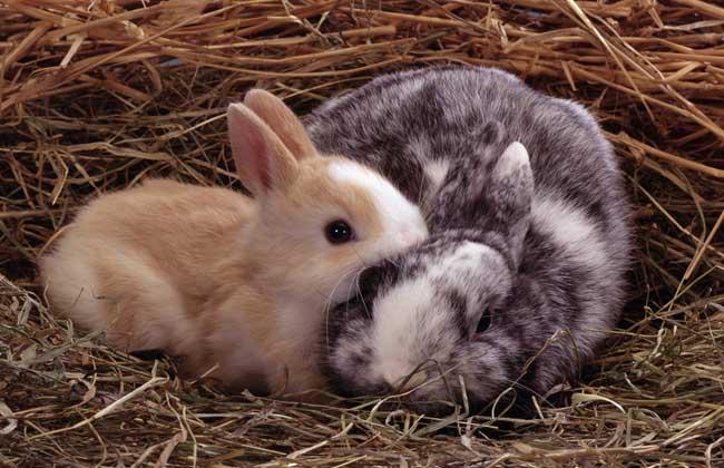 迷你兔多少钱一只