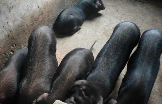 内江猪养殖技术