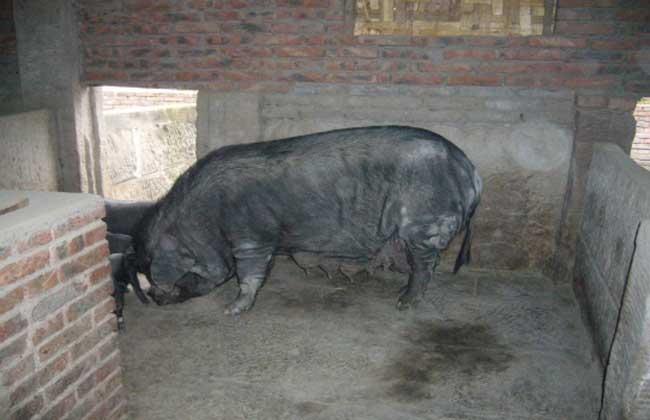 家养美丽猪图片