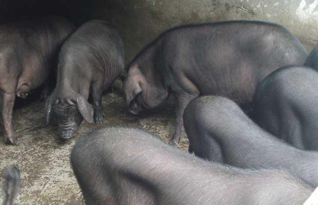莆田黑猪养殖技术