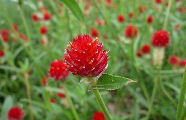 千日红种植方法
