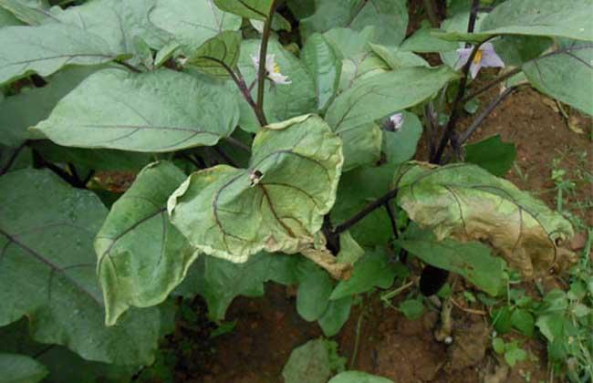 茄子枯萎病的防治方法
