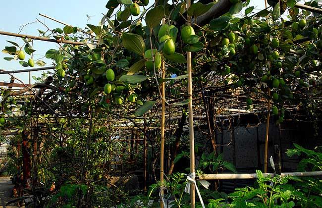 青枣种植技术