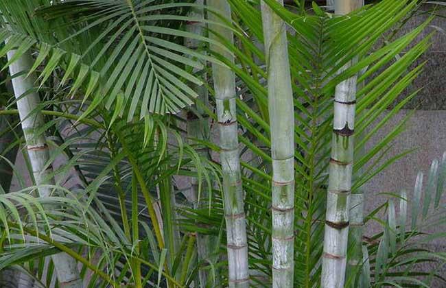 散尾葵和凤尾竹的区别