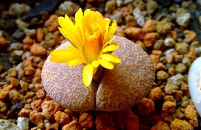 生石花种子怎么种