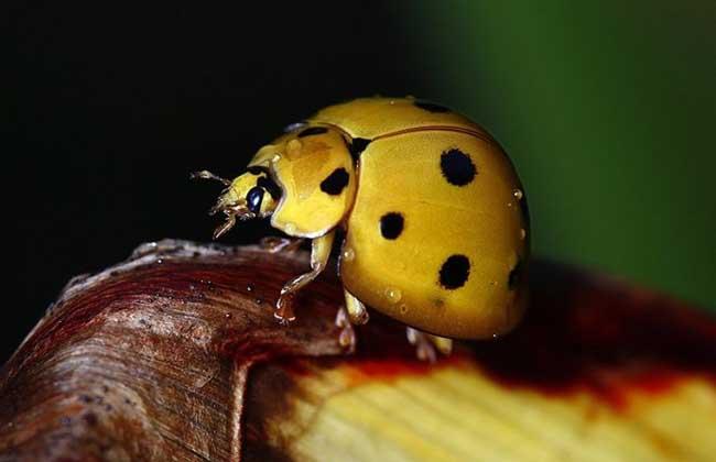 十三星瓢虫吃什么食物