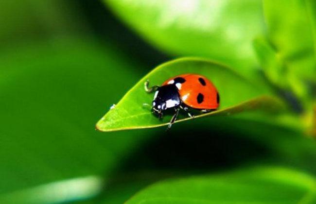 十一星瓢虫是害虫吗