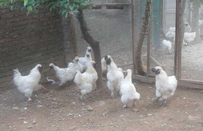 丝羽乌骨鸡养殖技术
