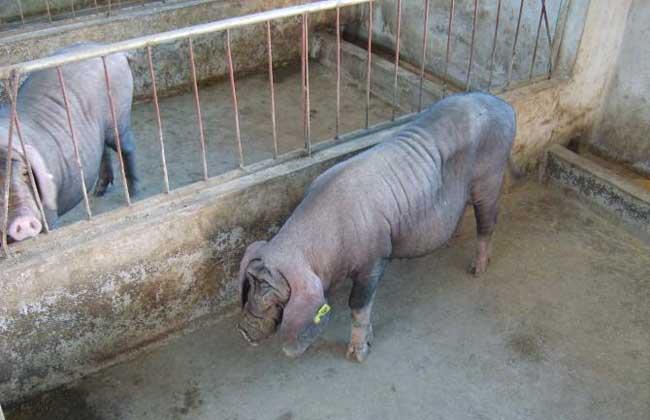 太湖猪养殖技术视频