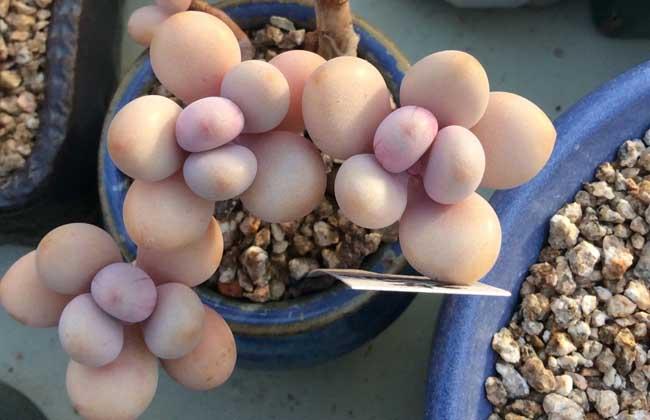 桃之卵和桃美人的区别