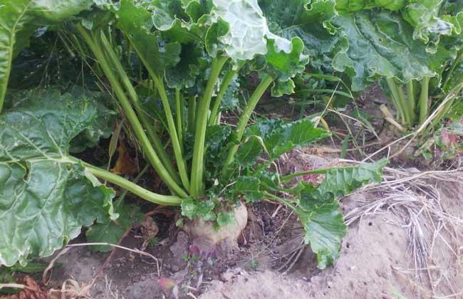 甜菜种植技术