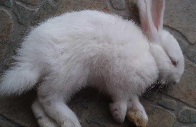 兔球虫病怎么治疗?