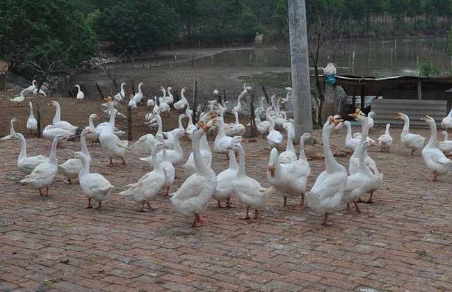皖西白鹅养殖技术