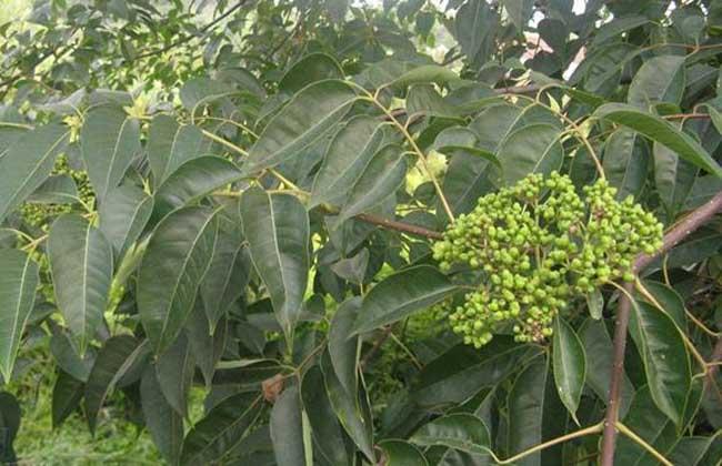 吴茱萸种植技术