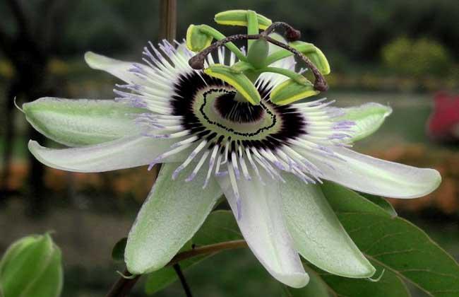 西番莲的种植技术