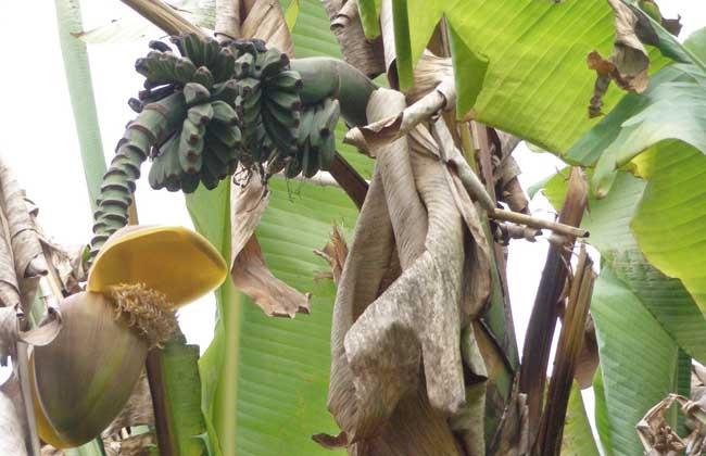 芭蕉根的功效与作用