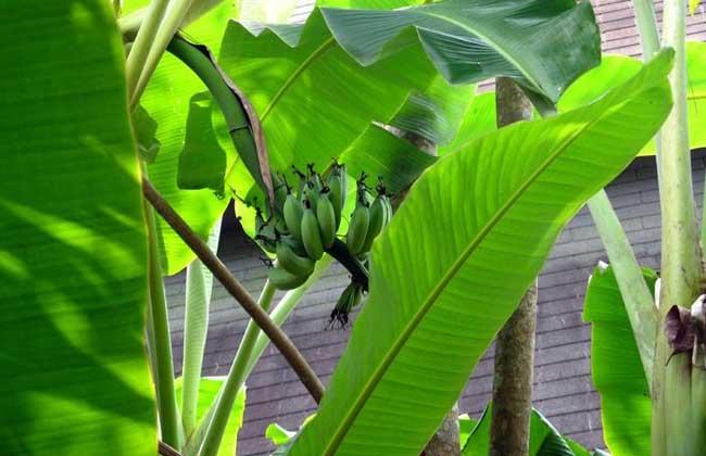 芭蕉的种植技术