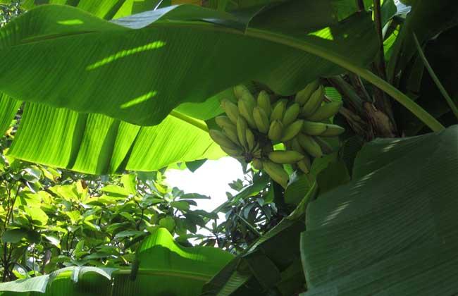 芭蕉种植技术