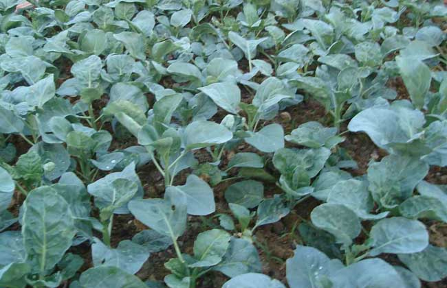 芥蓝种植技术